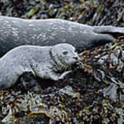 Harbor Seal Pup Resting Poster by Suzi Eszterhas