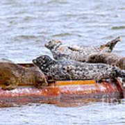 Harbour Seals Lounging Poster by Sharon Talson