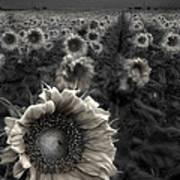 Haunting Sunflower Fields 1 Poster by Dave Dilli