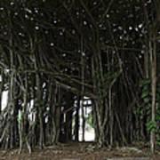 Hawaiian Banyan Tree - Hilo City Poster by Daniel Hagerman
