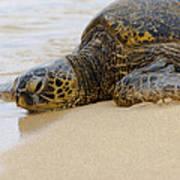 Hawaiian Green Sea Turtle 3 Poster by Brian Harig
