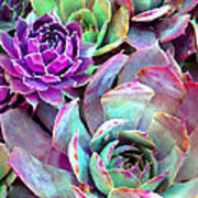 Hens And Chicks Series - Urban Rose Poster by Moon Stumpp