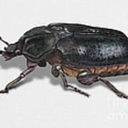 Hermit Beetle - Russian Leather Beetle - Osmoderma Eremita - Pique Prune - Erakkokuoriainen Poster by Urft Valley Art