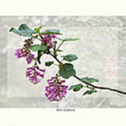 Ribes Sanguineum - California Currant Poster by Saxon Holt