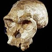 Homo Habilis Cranium (oh 24) Poster by Science Photo Library