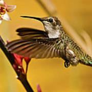 Hummingbird Poster by Robert Bales