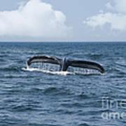 Humpback Whale Fin Poster by Juli Scalzi