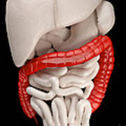 Illustration Of Digestive System Poster by David Marchal
