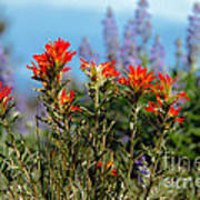Indian Paintbrush Poster by Robert Bales