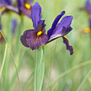 Iris Hollandica 'eye Of The Tiger' Poster by Tim Gainey