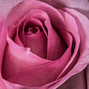 Just A Rose Poster by Mitch Shindelbower