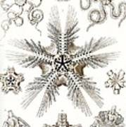 Kunstformen Der Natur Poster by Ernst Haeckel