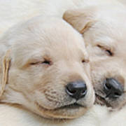 Labrador Retriever Puppies Sleeping  Poster by Jennie Marie Schell