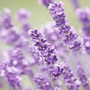 Lavender Dreams Poster by Kim Hojnacki