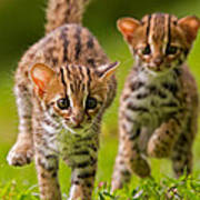 Leopard Stampede Poster by Ashley Vincent