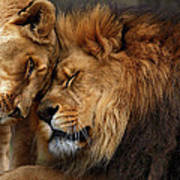 Lions In Love Poster by Emmanuel Panagiotakis