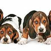 Litter Of Basset Hound Puppies Poster by Susan Schmitz