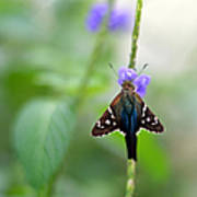 Long Tailed Skipper Poster by Laura Fasulo