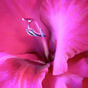 Magenta Splendor Gladiola Flower Poster by Jennie Marie Schell