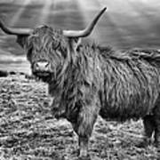 Magestic Highland Cow Poster by John Farnan