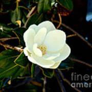 Magnolia Grandiflora Poster by Hanza Turgul