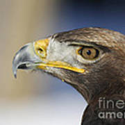 Majestic Golden Eagle Poster by Inspired Nature Photography Fine Art Photography