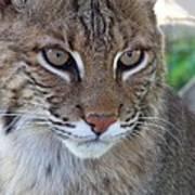 Male Bobcat1 Poster by Jennifer  King
