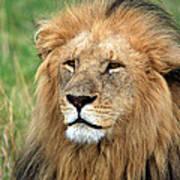Masai Mara Lion Portrait    Poster by Aidan Moran