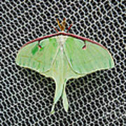 Mint Green Luna Moth Poster by Andee Design