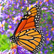Monarch Butterfly Poster by Olivier Le Queinec