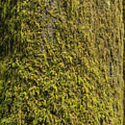 Moss Covered Tree Olympic National Park Poster by Steve Gadomski