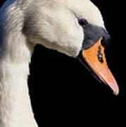Mute Swan Poster by Wobblymol Davis
