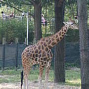 National Zoo - Giraffe - 12124 Poster by DC Photographer