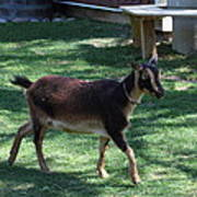 National Zoo - Goat - 01134 Poster by DC Photographer