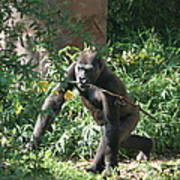 National Zoo - Gorilla - 121220 Poster by DC Photographer