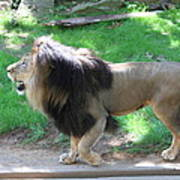 National Zoo - Lion - 01131 Poster by DC Photographer