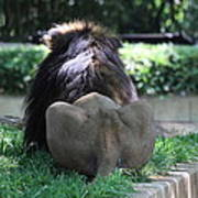 National Zoo - Lion - 011314 Poster by DC Photographer