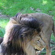 National Zoo - Lion - 01132 Poster by DC Photographer