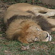 National Zoo - Lion - 12121 Poster by DC Photographer