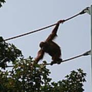 National Zoo - Orangutan - 12122 Poster by DC Photographer