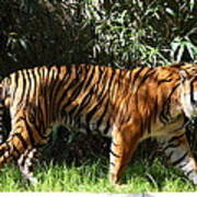 National Zoo - Tiger - 01138 Poster by DC Photographer