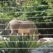 National Zoo - Zebra - 12121 Poster by DC Photographer