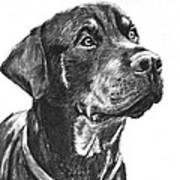Noble Rottweiler Sketch Poster by Kate Sumners