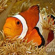 Ocellaris Clown Fish No 1 Poster by Jerry Fornarotto