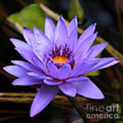 One Purple Water Lily Poster by Carol Groenen