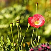 Opium Poppy Poster by Suradej Chuephanich