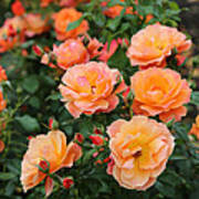 Orange Roses Poster by Carol Groenen