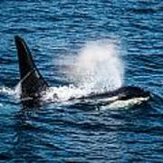 Orca Whale On The Move Poster by Puget  Exposure
