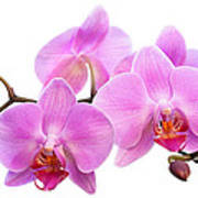 Orchid Flowers II - Pink Poster by Natalie Kinnear