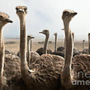 Ostrich Heads Poster by Johan Swanepoel